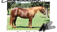"MAGNUM CHIC DREAM COLT ""One Sensational Dream"" Acquired by Neylon Performance Horses"
