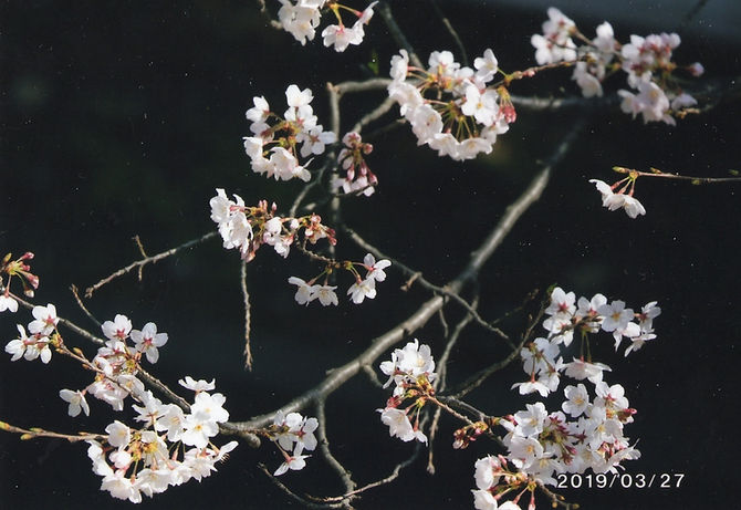 心に残った風景 鈴木弘一 窓から見る桜花.jpg