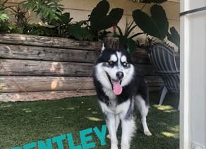 Bentley   Siberian Husky   Monterey Park, CA