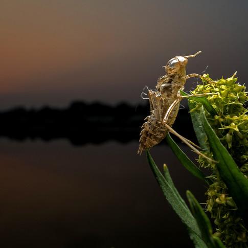Exoskeleton of a dragonfly- Coochbehar, india.