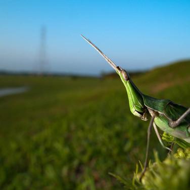 Grasshopper- coochbehar, India.