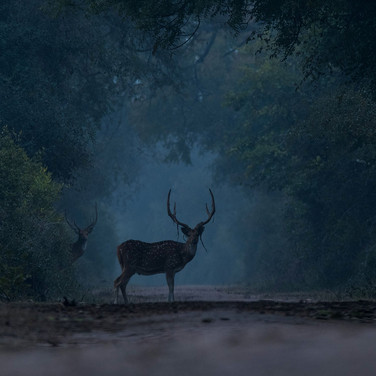 Spotted deer- keoladeo national park, India.