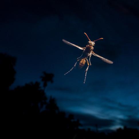 Paper wasp- coochbehar, India.
