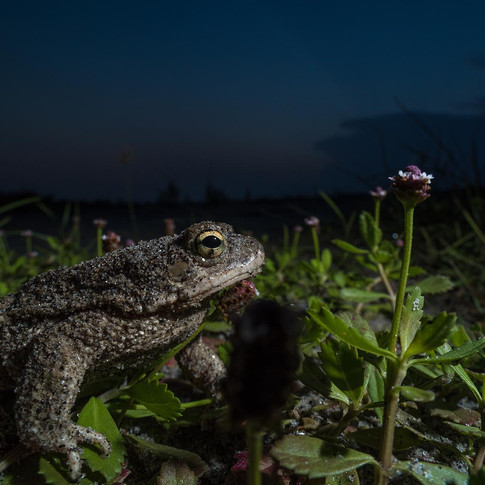Common toad- coochbehar, India.