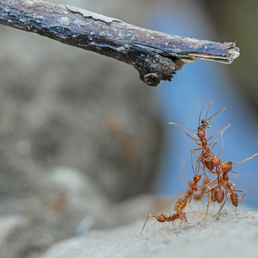 Weaver ants - buxa tiger reserve, India.