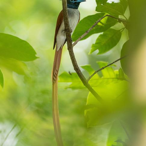 Indian paradise flycatcher- coochbehar, india.