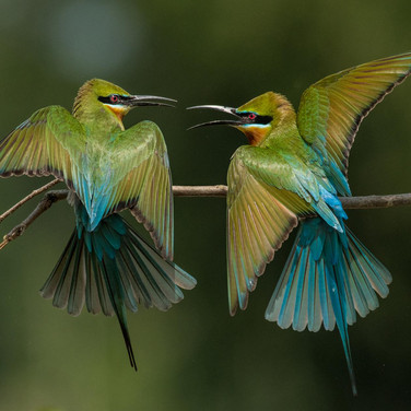 Blue tailed bee eater- coochbehar, India.