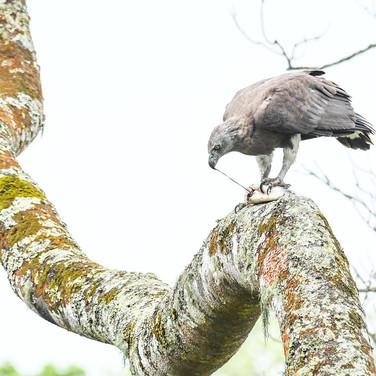 Grey headed fish eagle- kaziranga, India.