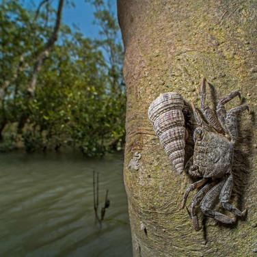 Mud crab- sunderban, India.