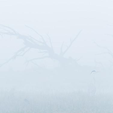 Grey heron- Keoladeo national park, India.