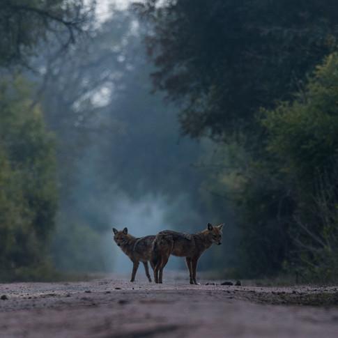 Golden jackal- keoladeo national park, India.