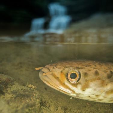 Snake head fish- sohora,India.