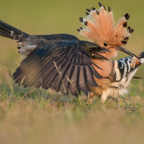 Eurasian hoopoe- coochbehar, India.