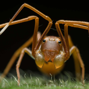 Ant-mimicking crab spider- buxa tiger reserve, India.