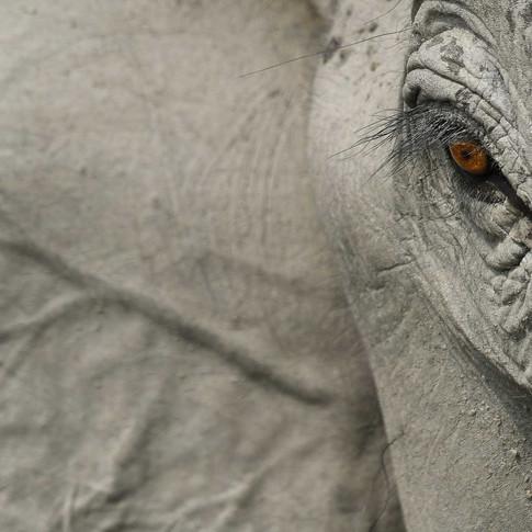 Asian elephant- kaziranga, India.