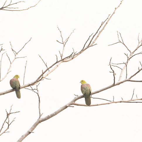 Wedge tailed green pigeon- latpancha