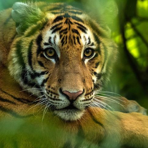 Royal bengal tiger- kaziranga, India.