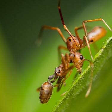 Ant-mimicking crab spider with weaver ant kill- buxa tiger reserve, India.