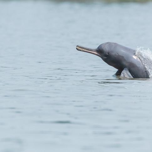 River dolphin- katwa, India.
