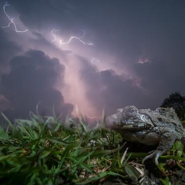 Asian grass frog- coochbehar, India.