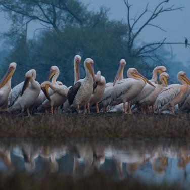 Great white pelican-