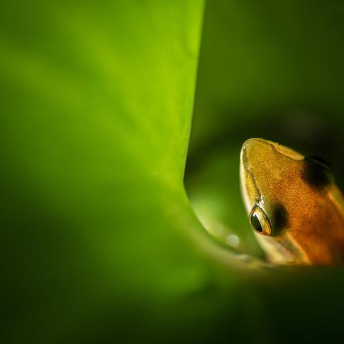 Theobald's ranid frog - amboli, mahastra, India.