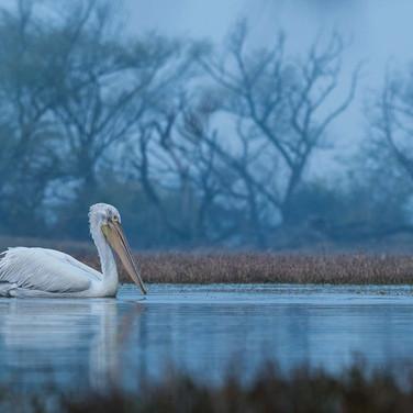Dalmatian pelican- keoladeo national park, India.