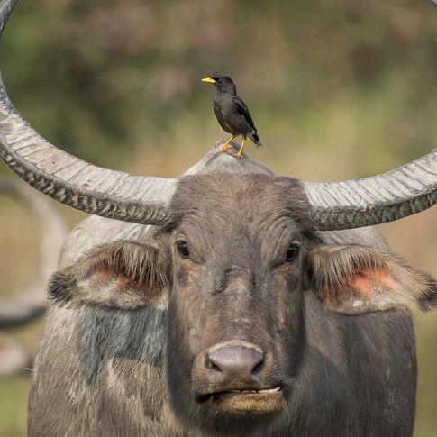 Water buffalo- kaziranga, India.