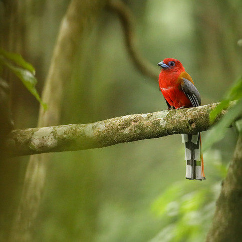 Red headed trogon- latpanchar, India.