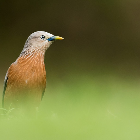 Bramhany starling- coochbehar, India.