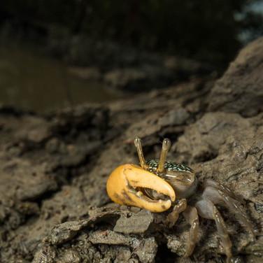 Yellow fiddler crab- sunderban, India.