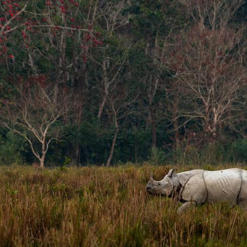 One horned rhino- kaziranga, In