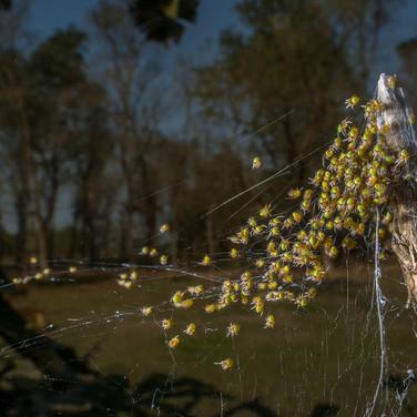 Spiderling- coochbehar, India.