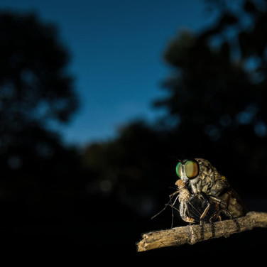 Robberfly- coochbehar, India.