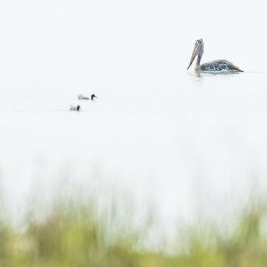Spot billed pelican- kaziranga, India.