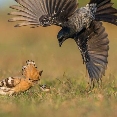 Black drongo- coochbehar, India.