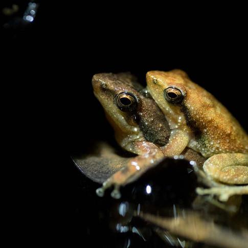 Dancing frog mating- amboli, India.