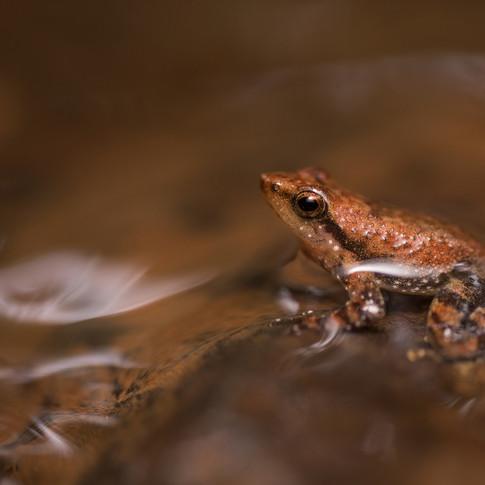 Dancing frog- amboli, India.