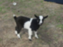 Moo (wether) Buttercup X Sven SOLD.jpg