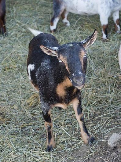 Daisy Nigerian Dwarf Goat