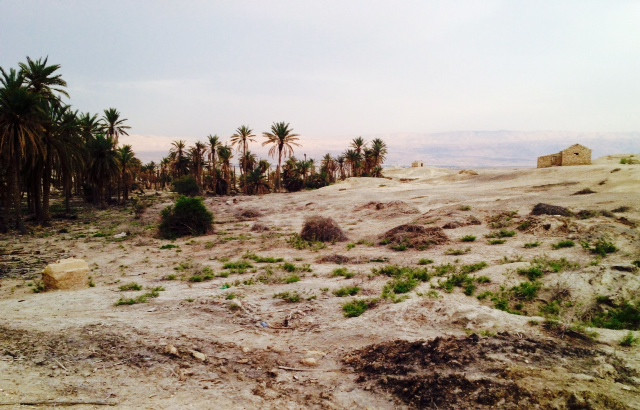 Our date palm tree grove, with the Gilead Mountains of the country of Jordan in the background