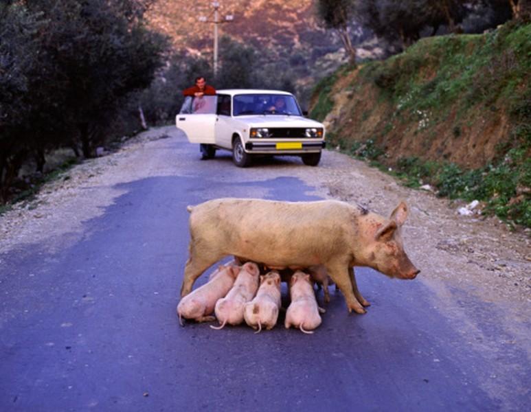 pig Albania tourism