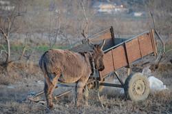 Donkey, Divjaka
