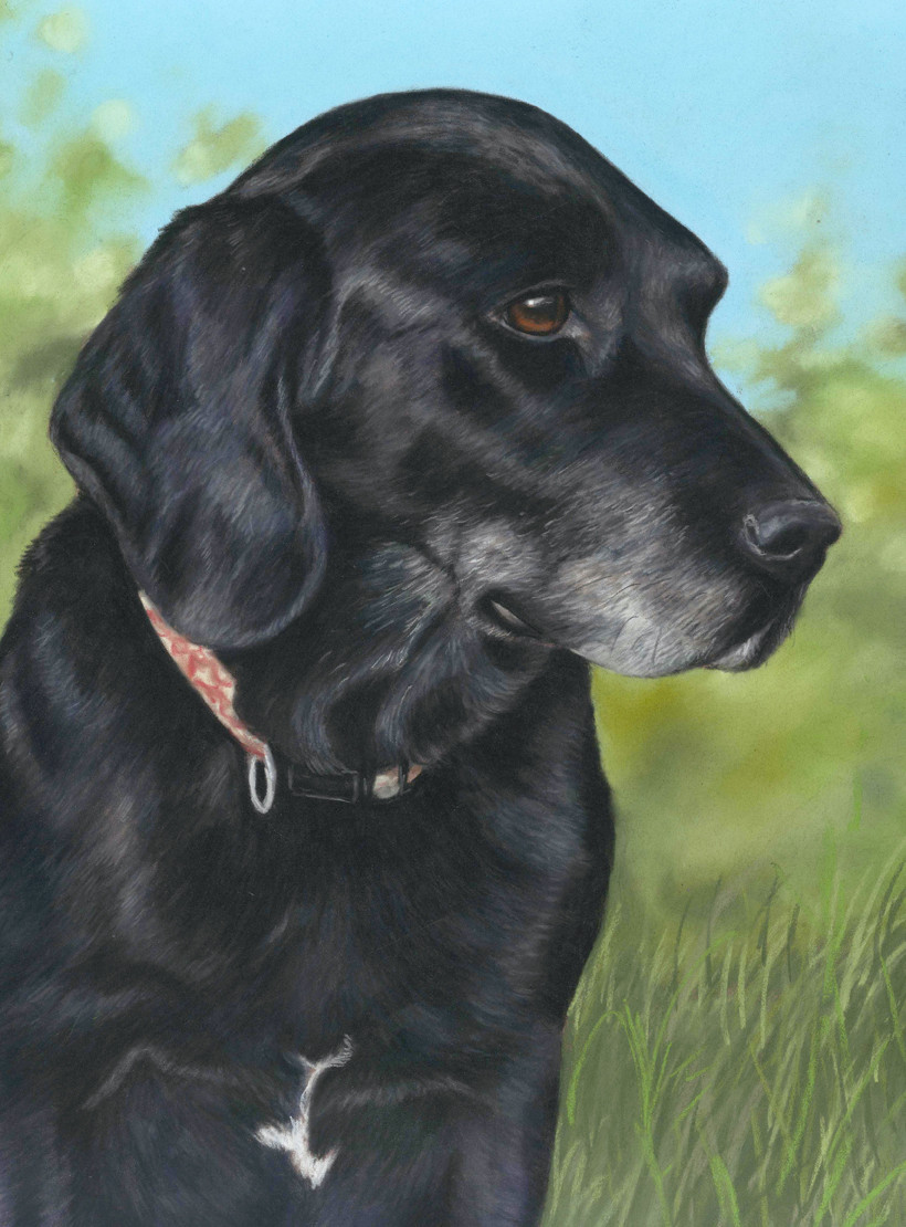 Dog portrait of a black labrador called Wellington in front of blue skies and trees
