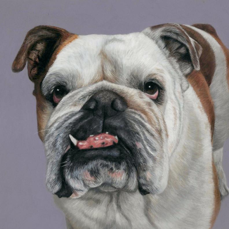 Henry, british bulldog pet portrait in pastels