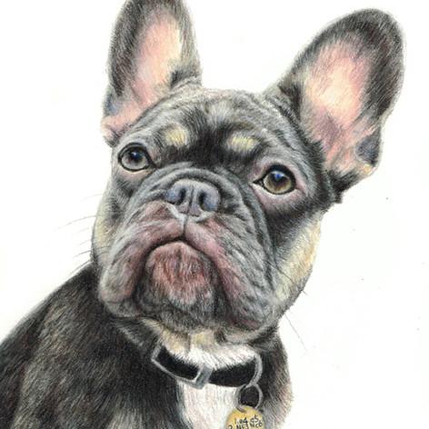 French bulldog pet portrait
