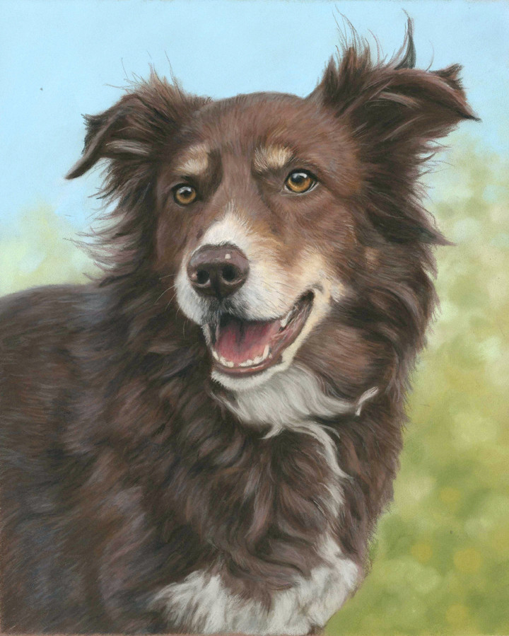 Border collie dog portrait of the gorgeous Bailey created with pastel pencils and panpastels