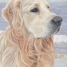 Cooper, golden retriever dog portrait