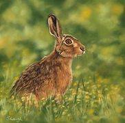 Hare, buttercups, pastel hare, hare pastel, wildlife art, wildlife painting, hare painting, hare art, hare portrait, hare