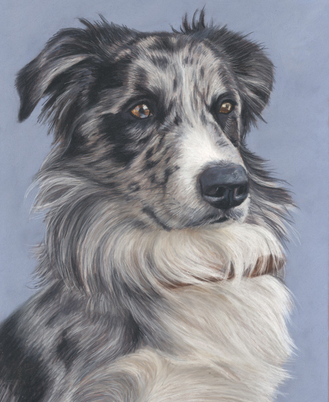 Pastel pet portrait of a beautiful blue merle border collie.